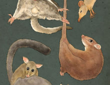possums 'n gliders
